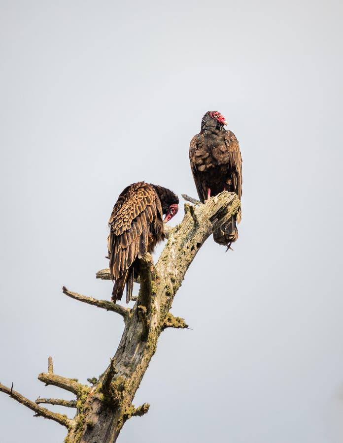 两火鸡兀鹰坐一棵死的树 库存图片