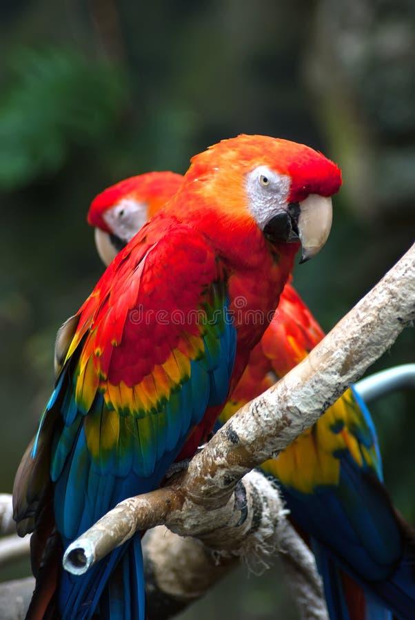 两爱在树枝的病的鹦鹉 免版税库存照片