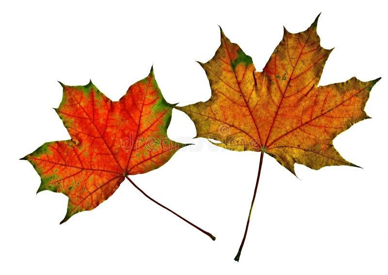 两片多彩多姿的槭树叶子在白色背景被安置 库存图片