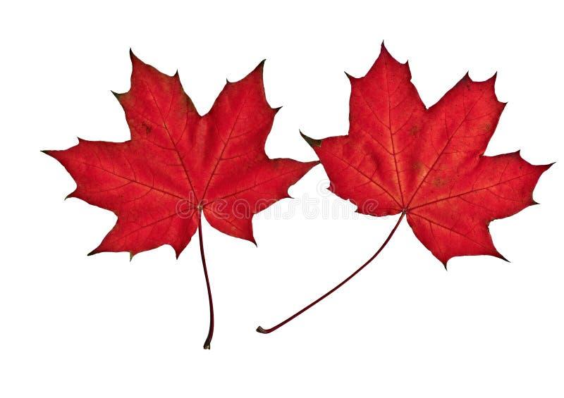 两片红槭叶子在白色背景被安置 免版税库存照片