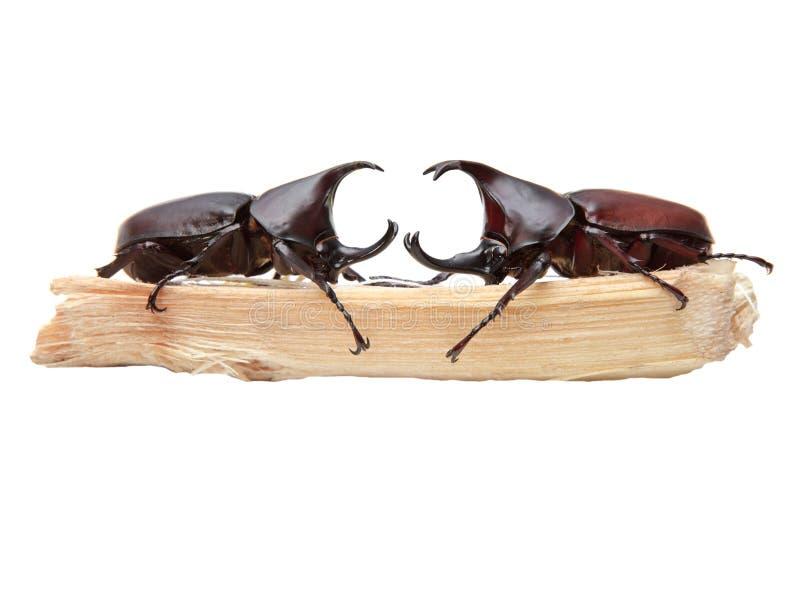 两犀牛甲虫,犀牛甲虫,赫拉克勒斯甲虫,独角兽 库存照片