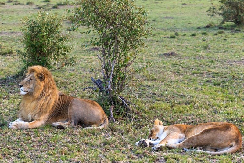 两狮子在爱以后休息 夫妇爱 肯尼亚mara马塞语 免版税库存照片