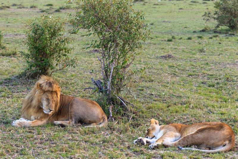 两狮子在爱以后休息 夫妇爱 草休息 肯尼亚mara马塞语 库存照片