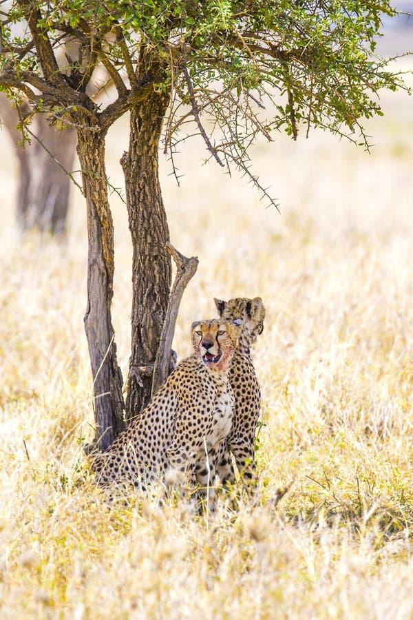 两猎豹休息在膳食以后的树下在塞伦盖蒂 免版税库存照片