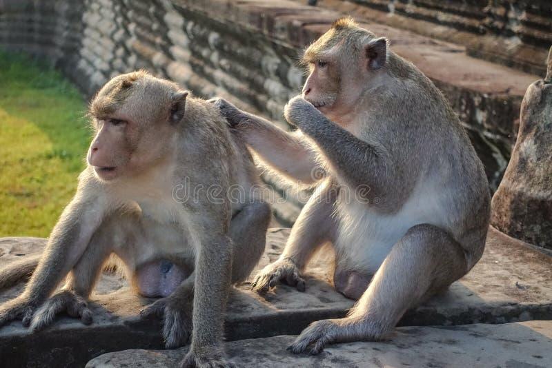 两猴子发现壁虱和神色在照相机并且吃壁虱在照相机在吴哥窟 库存照片