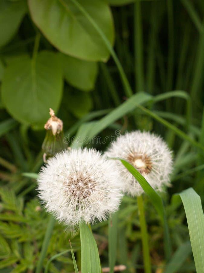 两白色蓬松蒲公英朝向与绿色叶子和gra的宏指令 免版税库存图片