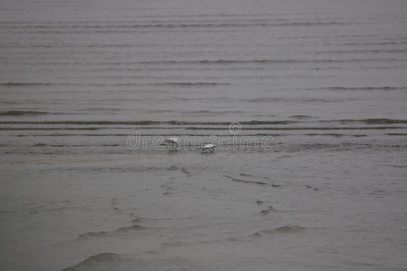 两白鹭在Boahi海 免版税库存图片