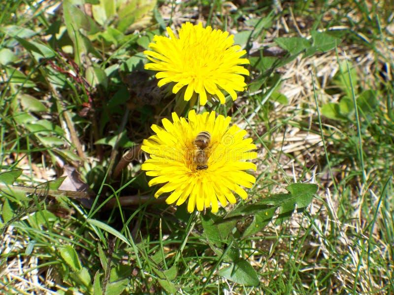 两的蜂蜜 免版税库存图片
