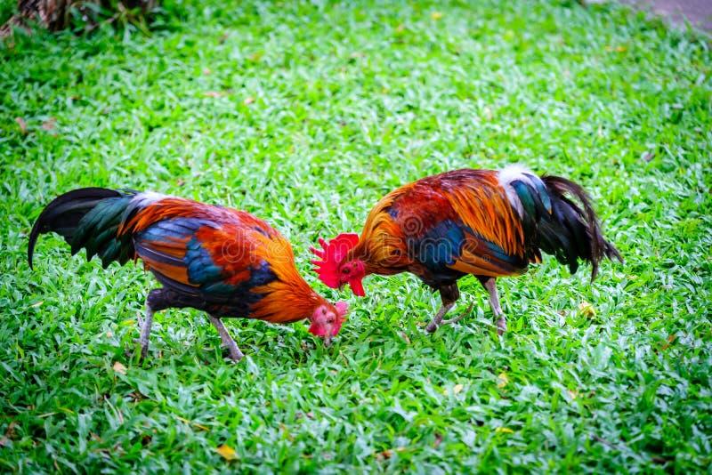 两矮脚鸡-小鸡品种黑色鸡走和Bein 免版税库存图片