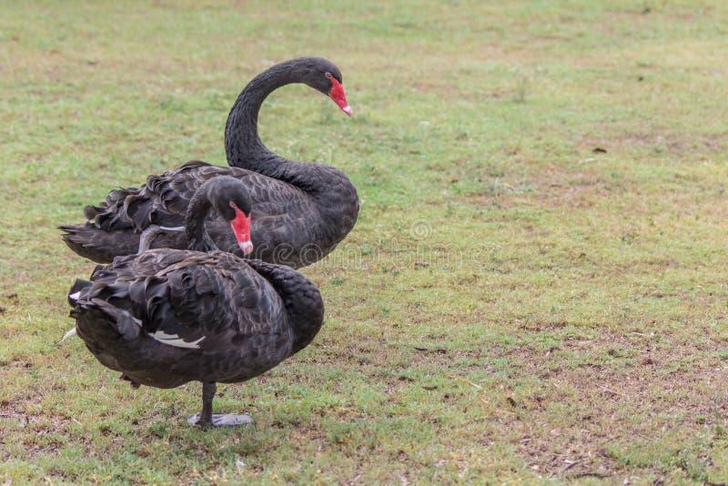 两站立在草坪的黑天鹅红色嘴 免版税库存照片