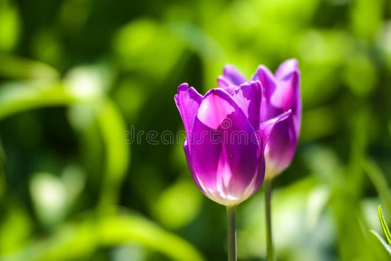 两紫罗兰色或在被弄脏的绿色背景的桃红色郁金香在阳光下在庭院里 免版税库存图片