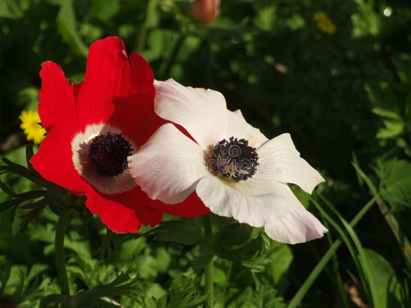 两红色和白色银莲花属花 免版税图库摄影