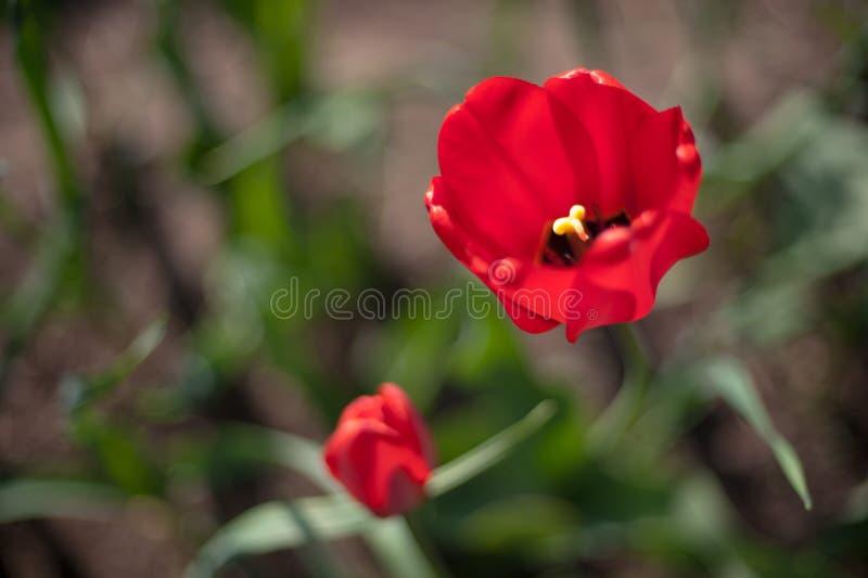 两红色开花的郁金香 免版税库存照片