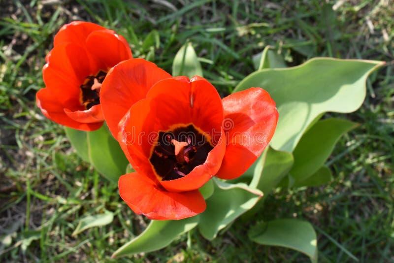 两红色郁金香顶视图 库存图片