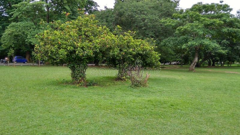 两绿色树在帕克詹谢普尔贾坎德邦印度 免版税库存照片