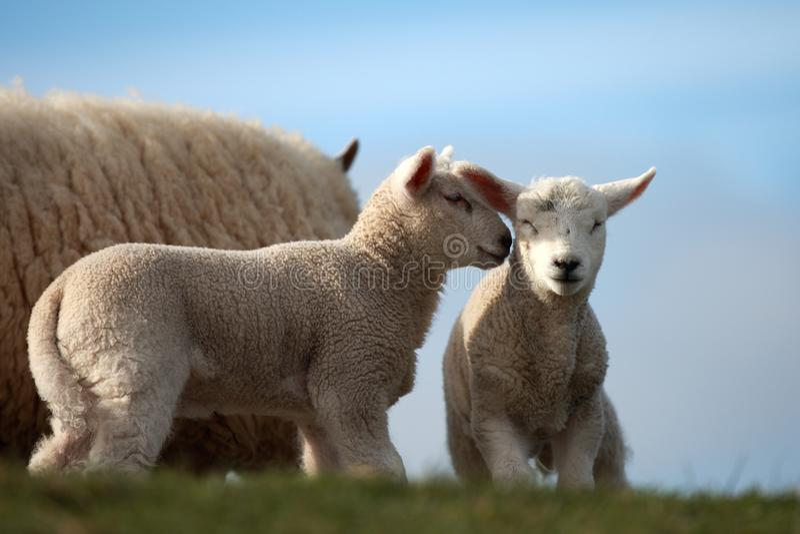 两羊羔谈论它 免版税库存图片