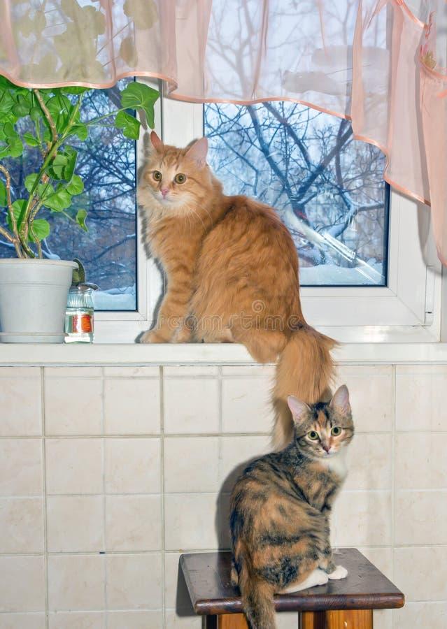 两美丽的红色西伯利亚猫和短发美国猫坐窗口基石 免版税库存照片