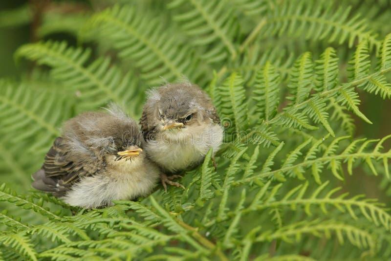 两群等待他们的父母的逗人喜爱的婴孩杨柳鸣鸟Phylloscopus trochilus回来和喂养他们 图库摄影