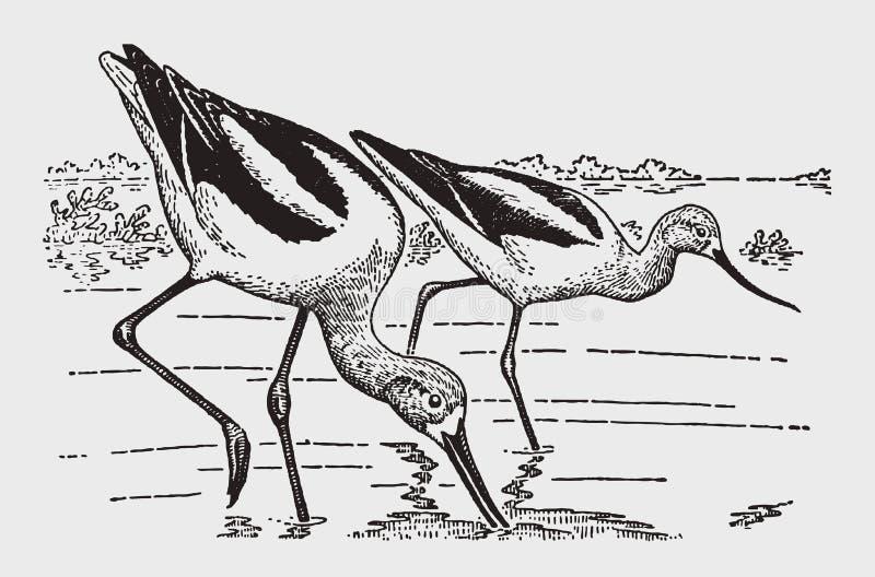 两群美国长嘴上弯的长脚鸟recurvirostra走和搜寻在岸的美国 向量例证