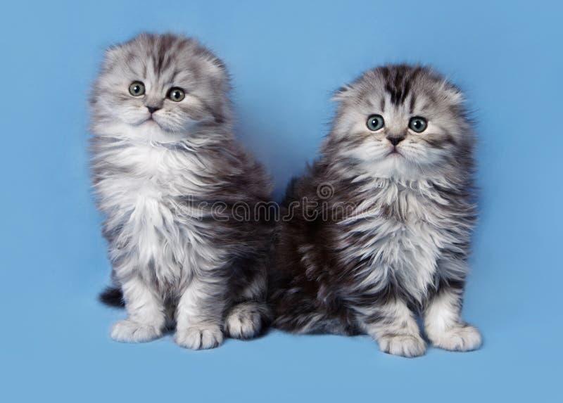 两苏格兰人折叠小猫 库存图片