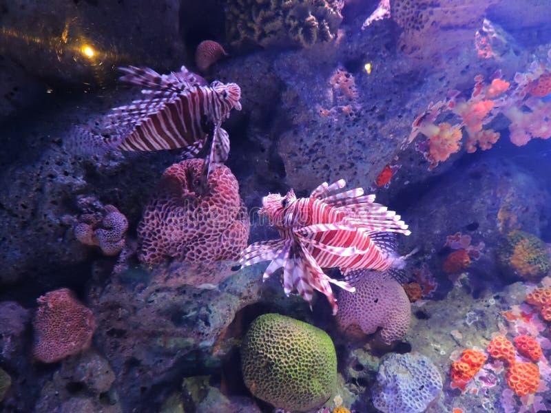 两蓑鱼(Pterois volitans)在水族馆在曼谷 库存照片