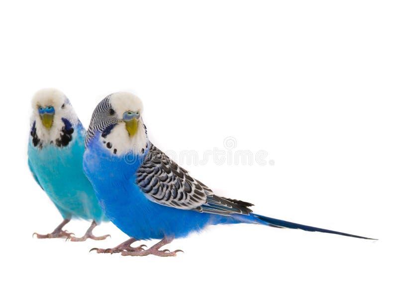 两蓝色budgie 图库摄影