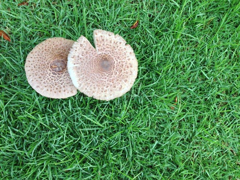 两蘑菇在庭院里 免版税图库摄影