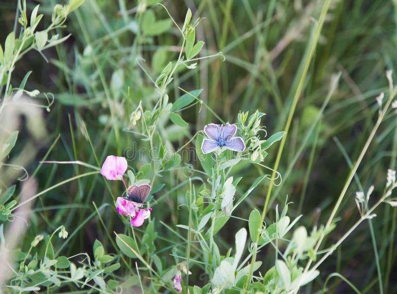 两蝴蝶坐花,在一个绿色草甸在夏天 免版税库存图片
