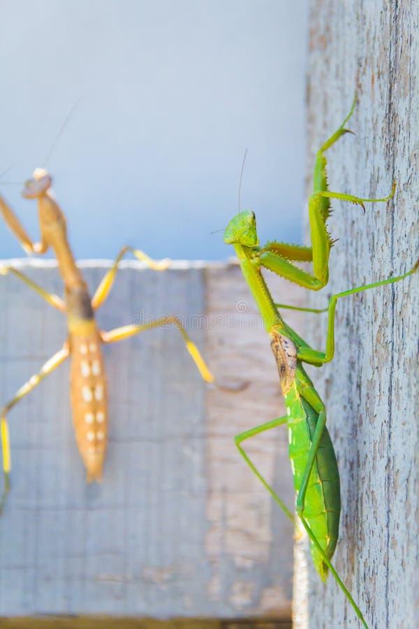 两螳螂特写镜头室外在自然本底中 库存照片