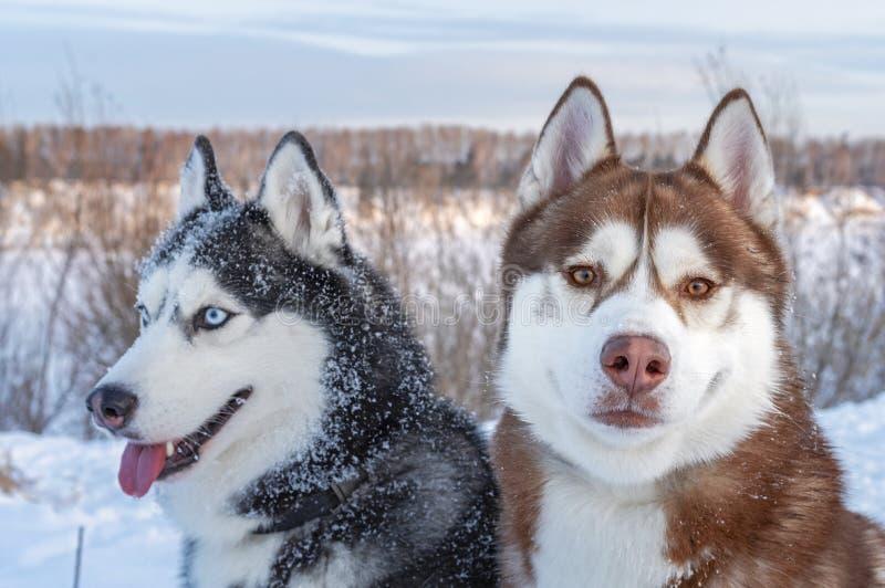 两西伯利亚爱斯基摩人狗神色 多壳的狗有黑,棕色和白色外套颜色 关闭 在明亮的毛皮红色星期日之上日落冠上结构树冬天 免版税库存照片