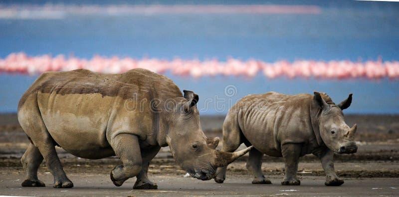 两走在一群火鸟的背景的犀牛在国家公园 肯尼亚 国家公园 闹事 免版税库存图片