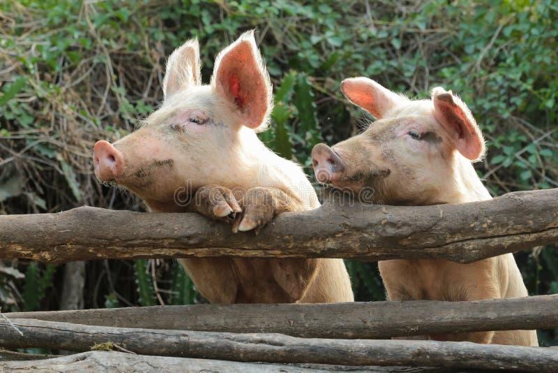 两逗人喜爱和好奇猪 库存照片