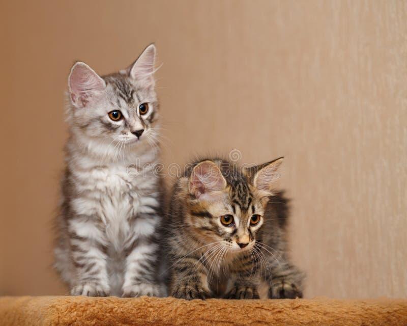 两逗人喜爱的矮小的短尾的小猫 库存照片