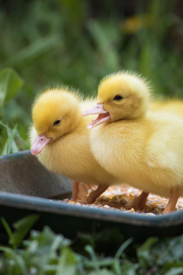 两逗人喜爱的矮小的黄色婴孩蓬松俄国鸭子关闭画象  免版税库存照片