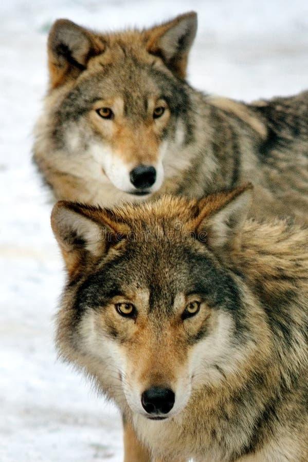 两野生灰狼在冬天森林里 图库摄影