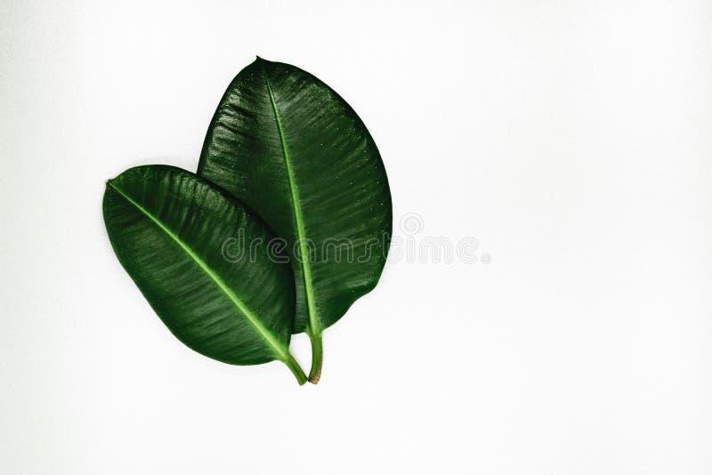两锐利视图和绿色榕属叶子银色背景表面上与自由空间 库存图片