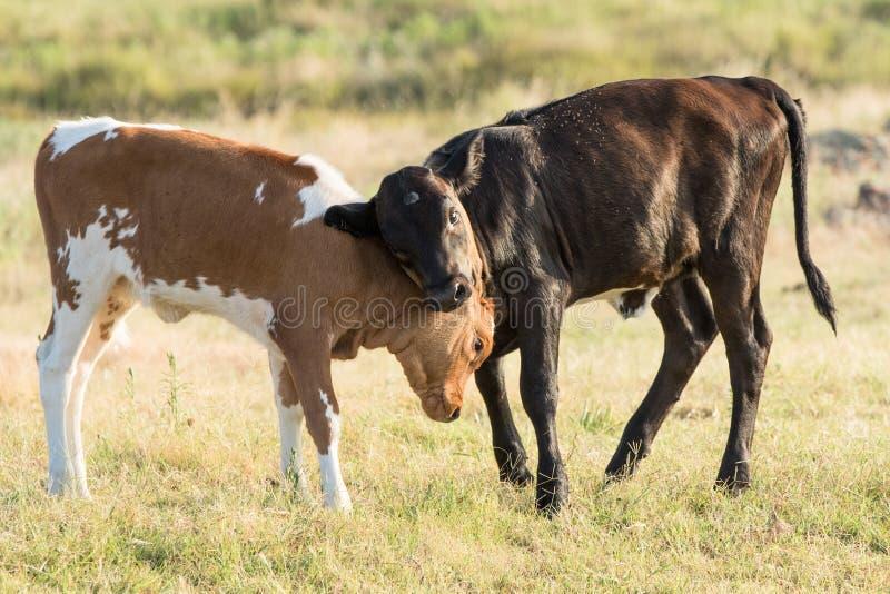 两长角牛小牛戏剧战斗 免版税图库摄影