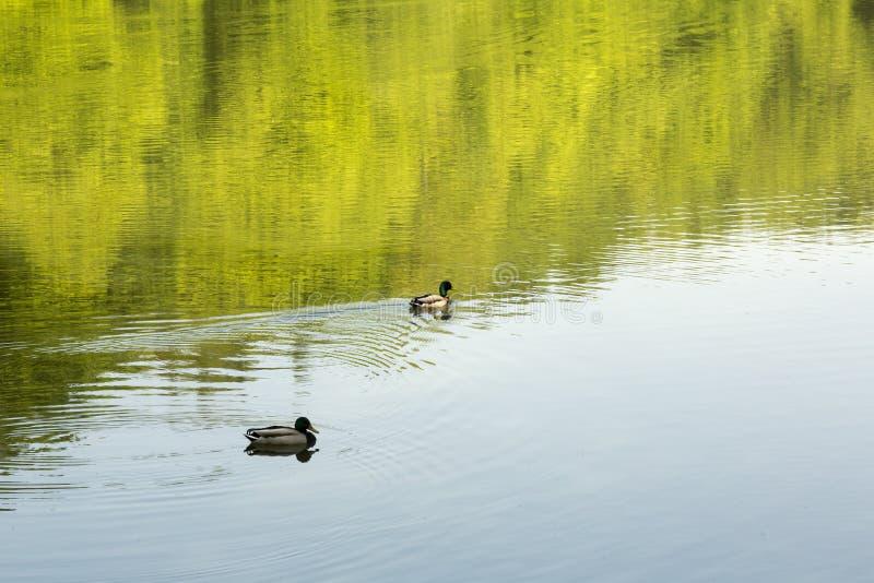 两鸭子在山湖我 库存照片