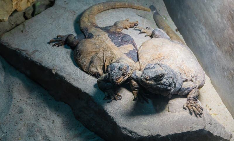 两黄色和灰色色的埃及蜥蜴靠近在岩石、爬行动物友谊和接合 库存图片