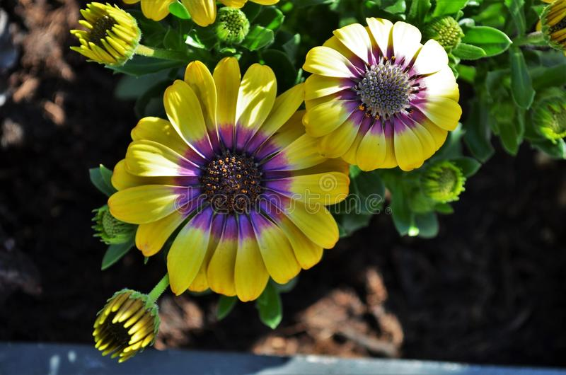 两黄色和紫色海角雏菊花开花 库存照片