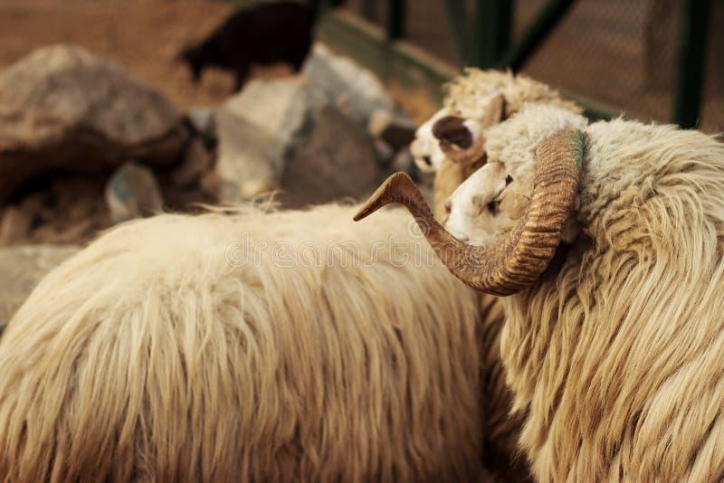 两黄色牺牲公羊 库存照片