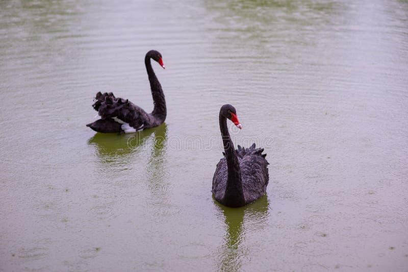 两黑天鹅在池塘 库存照片