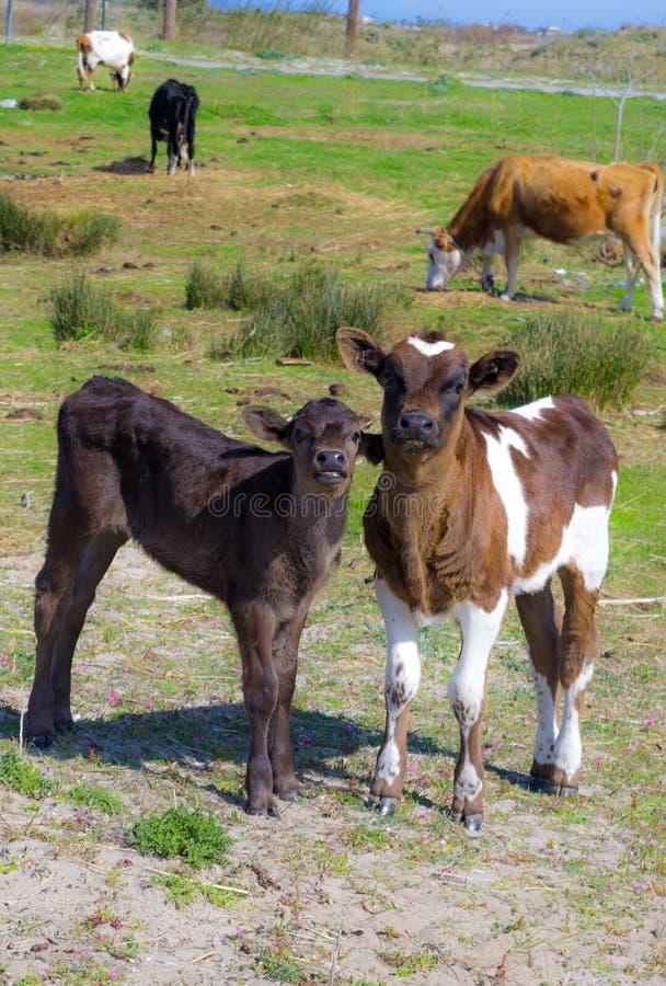 两头友好的小牛 免版税库存图片