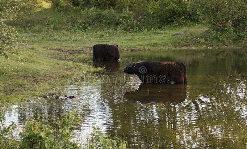 两头大眉头盖洛韦母牛在水中 库存图片