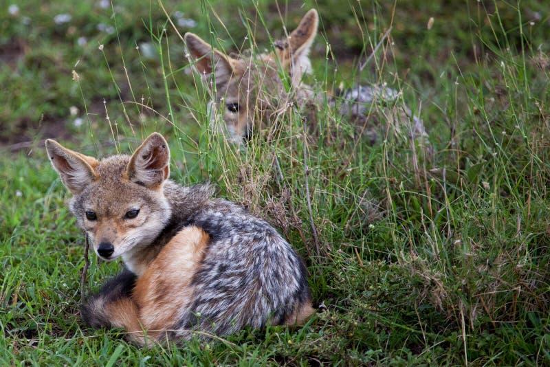 两头婴孩支持黑的狐狼 免版税库存图片