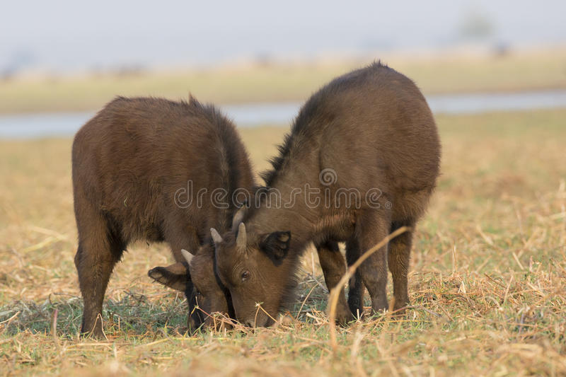 两婴孩Cape Buffalo 免版税库存照片