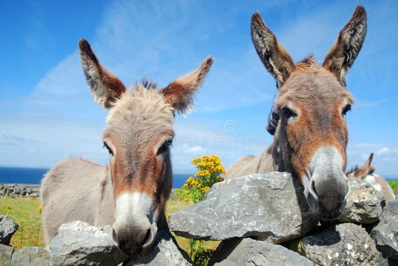 两头爱尔兰驴 免版税库存照片