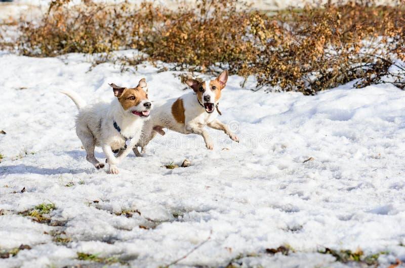 两滑稽狗快赛狗和咆哮 库存图片