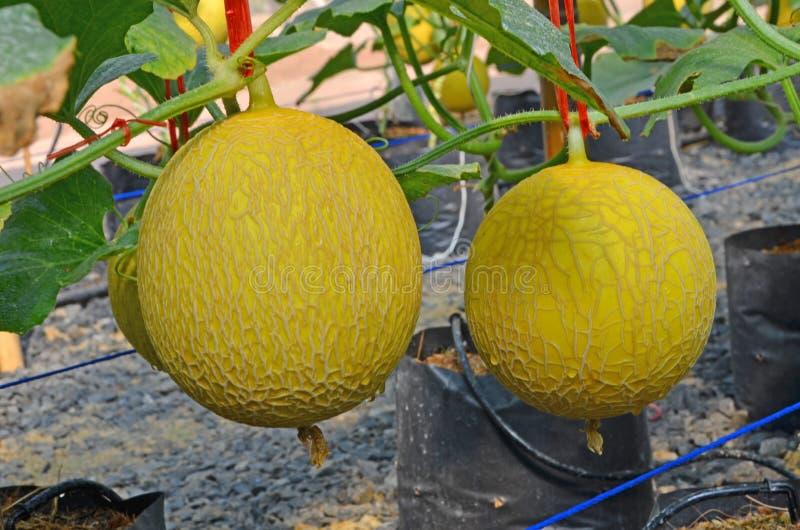两黄色瓜果子关闭  库存照片