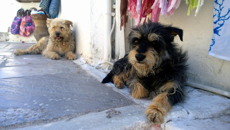 两说谎在入口的无家可归的卷毛狗对在街道上的商店在圣托里尼海岛上的Oia 免版税库存照片